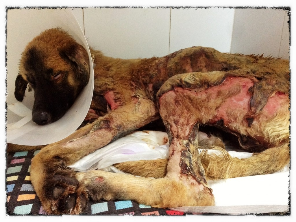 Tidus: a dog burned alive by teenage criminals fights for his life