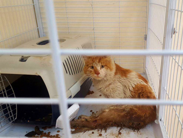 Ginger, requiring urgent assessment and possible surgery